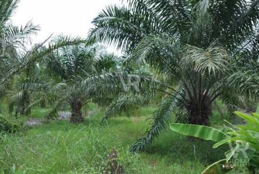 VR Global Property ขายที่ดิน พร้อมสวนปาล์มน้ำมัน ในจังหวัดจันทบุรี เหมาะสำหรับเก็บผลผลิตปาล์ม การเกษตร ที่อยู่อาศัย